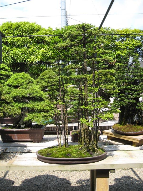Kimura   Bonsai in Japan